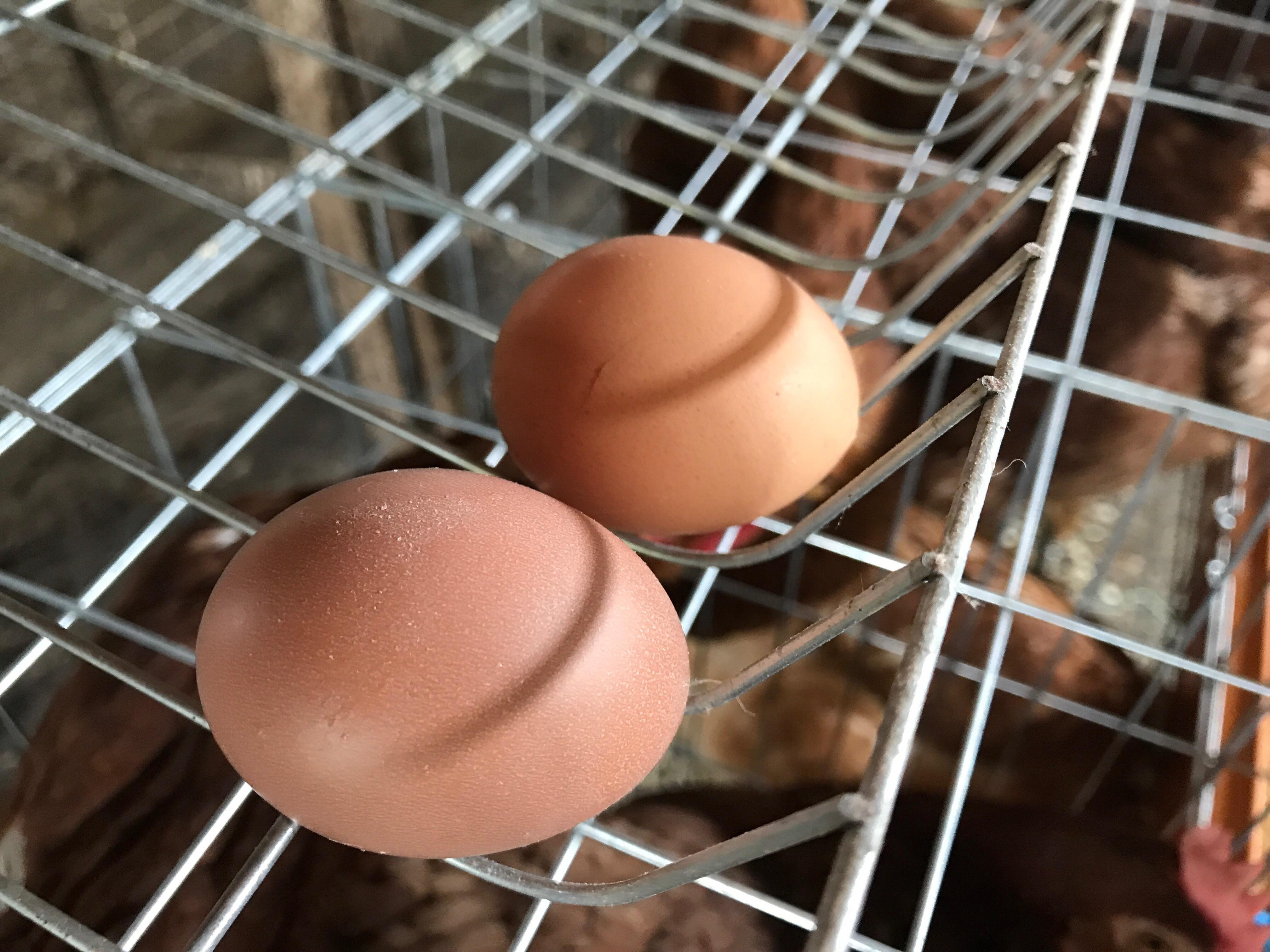 小さな卵を産んでます
