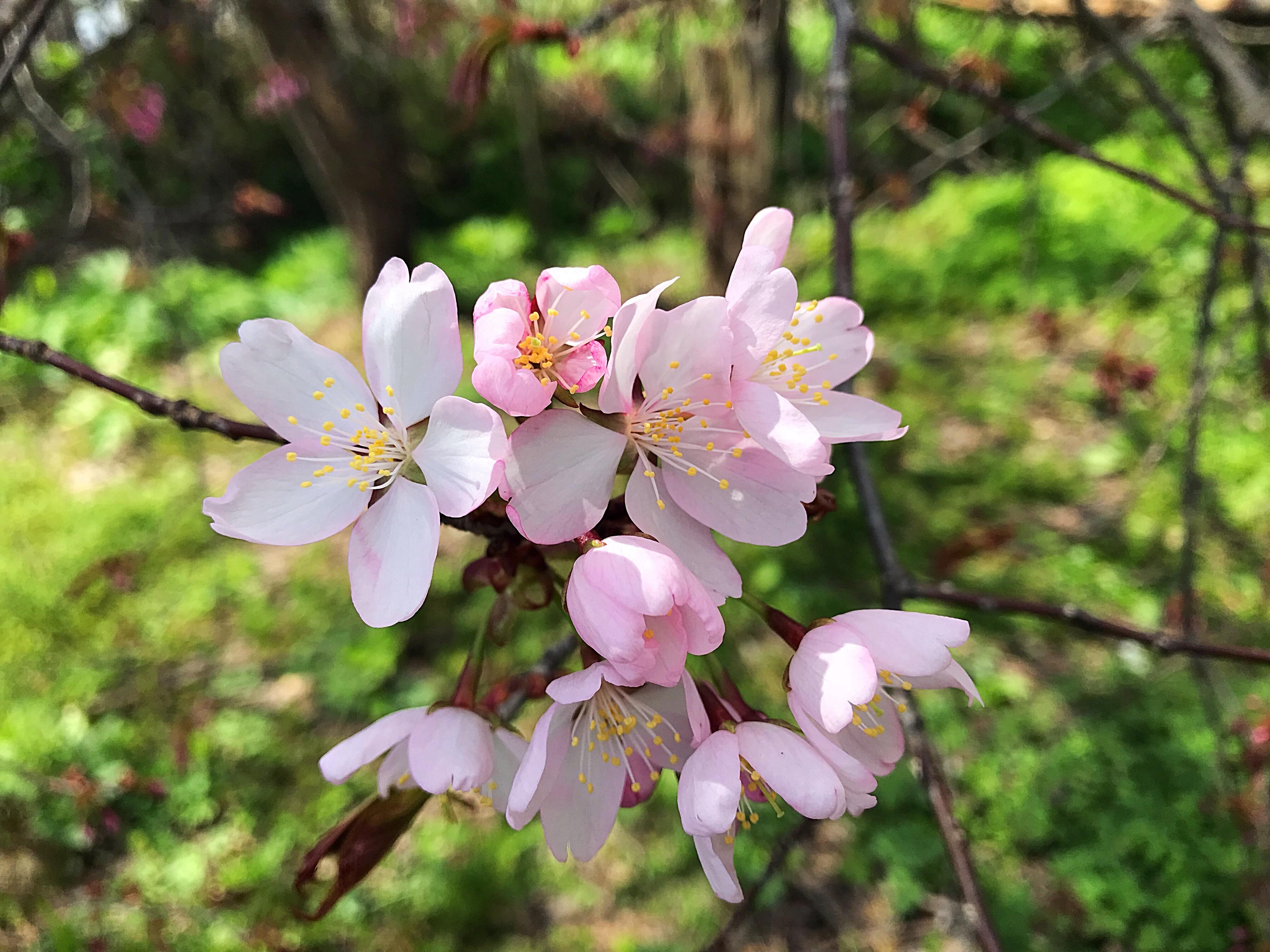 大熊養鶏場の桜が咲いてきた